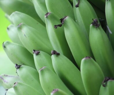 A bunch of green bananas