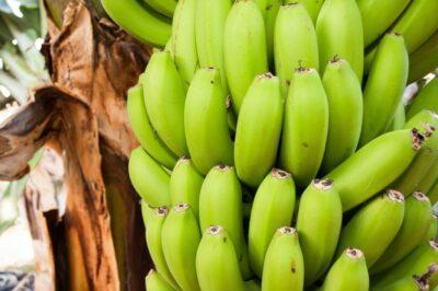 Raw banana bunch still hanging from the shrub.